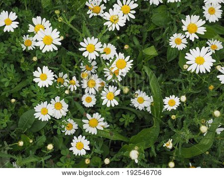 white daisy (Bellis Perennis) aka Common daisy or Lawn daisy or English daisy flower bloom