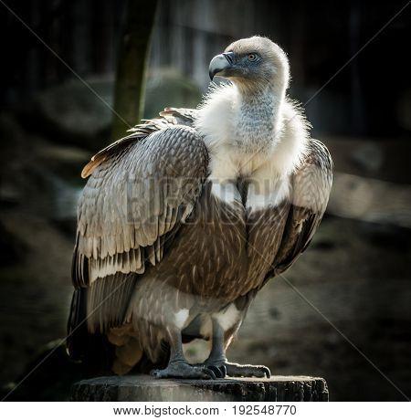 Big bird Griffon vulture (Gyps fulvus) on tree. Wildlife animal.