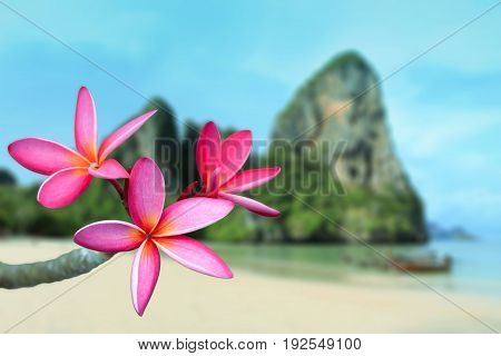 View of pink frangipani flower with the beach, Thailand