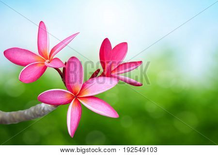 Pink frangipani (plumeria) flower with green background