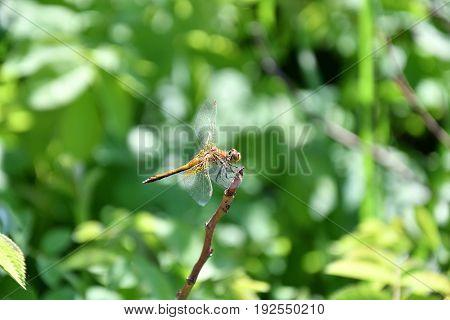 Dragonfly (lat. Odonata)