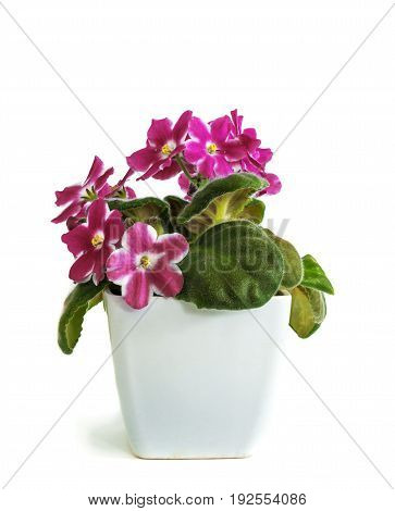 violets in a pot, insulated violets on a white background. beautiful flowers in pots