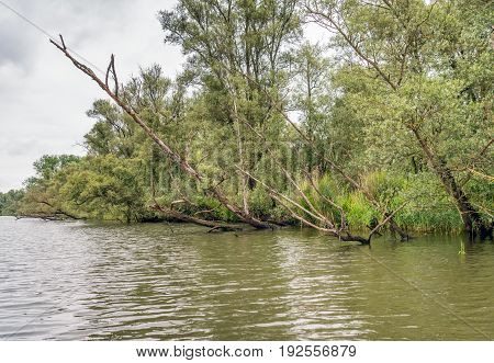 Sloping overhanging tree trunks above a creek in a freshwater tide area in a nature reserve in the Netherlands. It's a cloudy in the beginning of the summer season.
