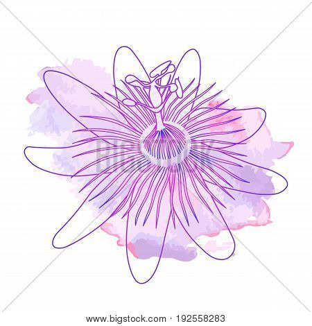 Isolated hand drawn purple outline flower of passionflower passiflora on pink violet watercolor spot. Print of curve lines