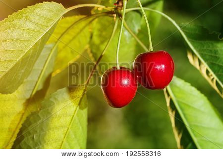 closeup two ripe cherries on cherry tree. Cherries hanging on branch. Gardening, agriculture, orchard and harvest concept
