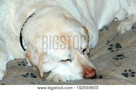 Dog sleeping on his bedroom pillow indoors.