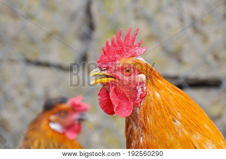 Beautiful rooster  with a red comb and a yellow beak. Rooster chicken cockcrow in the morning