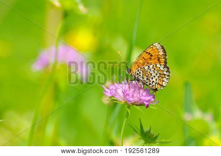 Melitaea cinxia, Glanville Fritillary butterfly on wild flower. Colorful butterfly isolated on green meadow