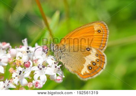 Coenonympha arcania, Pearly Heath collecting nectar from wild white flower. Butterfly on a Sambucus ebulus flowers