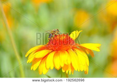 Orange gerbera flower in garden. Honey bee on gerbera flower