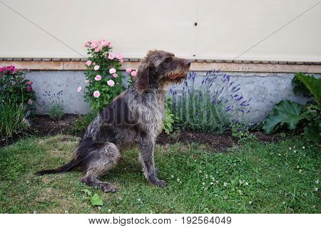 Hunting dog on sunny day, German wirehaired pointer .