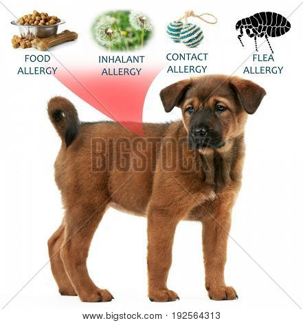 Veterinary concept. Puppy and causes of allergy on white background