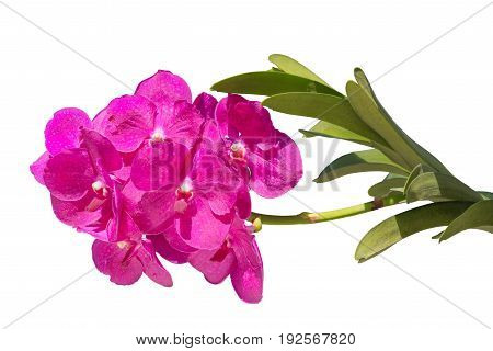 Beautiful pink purple orchids with green stalk and stem isolated on white background with clipping path included