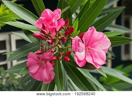Closeup of Pink Oleander Flowers with Buds and Leaves