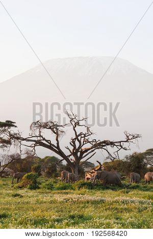 Elephants near the mountain kilimanjaro. Kenya, Africa