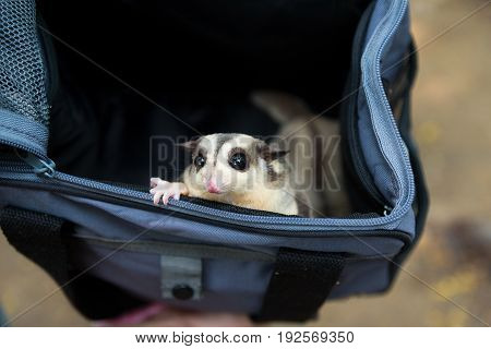 Sugar gliders hiding in pet's dark blue bag with curious emotion of people watching at it selective focus