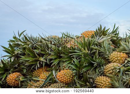 A Bunch Of Pineapples