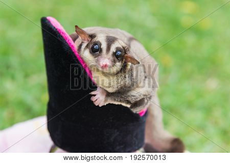 Sugar glider sitting on pet's chair and looking at the camera over green yard in the garden relaxing time