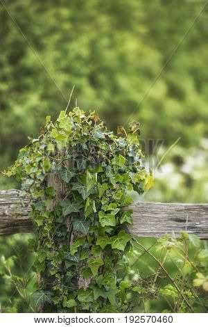 Selective Focus Landscape Image Of Fence Post Covered With Ivy In Englsih Countryside