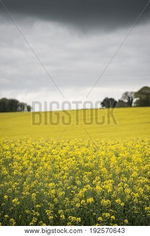 Shallow Depth Of Field Landscape Of Rapeseed Canola Field Under Moody Skies In English Countryside