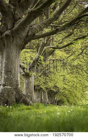 Selective Focus Landscape Of Beech Tree Avenue In English Landscape