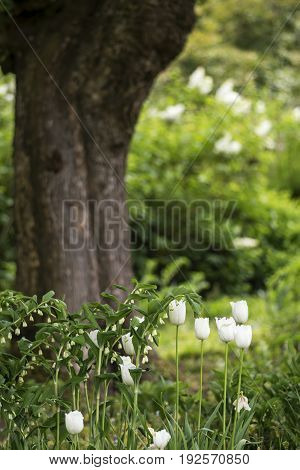 Beautiful Shallow Depth Of Field Landscape In English Countryside With Tulips In Spring