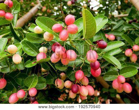Bengal currants Carandas plum Karanda or Carunda fruit. Healthy fruit.