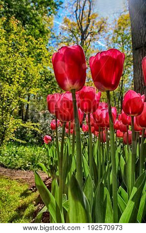 Red tulips field in spring garden seasonal natural floral landscape with sun shining. Selective focus