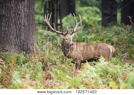 Majestic red deer stag Cervus Elaphus in forest landscape during rut season in Autumn Fall