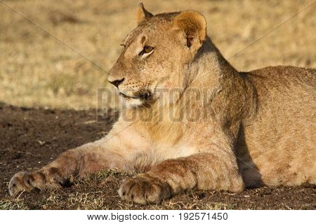 A young lion (Panthera leo) rests after feeding on a kill. Ol Pejeta Conservancy Kenya.