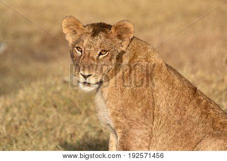 A young male lion (Panthera leo) making eye contact. Ol Pejeta Conservancy Kenya.