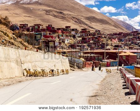 Sichuan China - April 10 2017 : Tibetan women and the flock of long haired sheep walking on the street in Yarchen Gar Monastery in Sichuan China