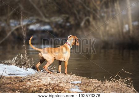 Dogs playing. Pale Labrador with Hungarian Vizsla