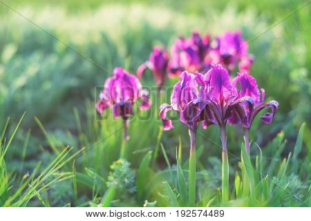 Spring wildflowers wallpaper with blossoming purple and magenta iris
