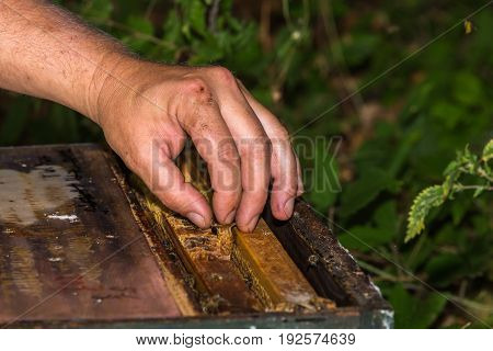 beekeeper put the queen cell with bee queen into hive between frames