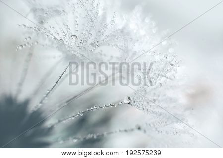 Beautiful Dew Drops On A Dandelion Seed Macro.