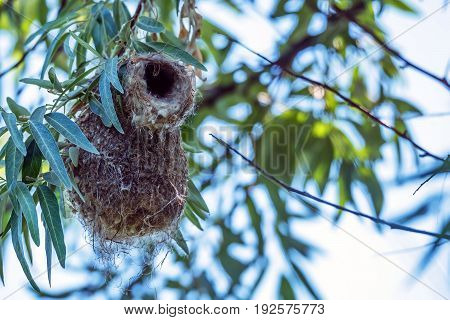 Eurasian penduline tit or Remiz pendulinus flies out of its nest