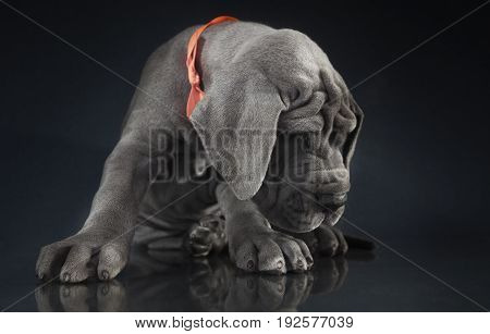 Purebred Great Dane puppy on a dark background with lots of wrinkles