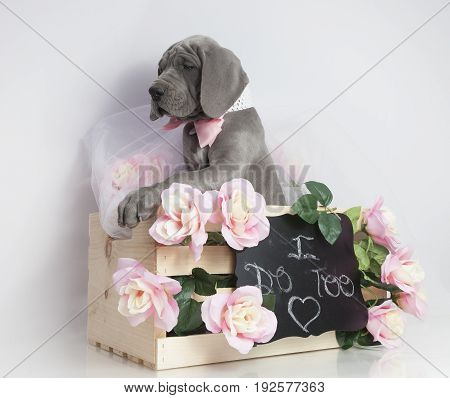 Great Dane purebred puppy in a crate that says I do too