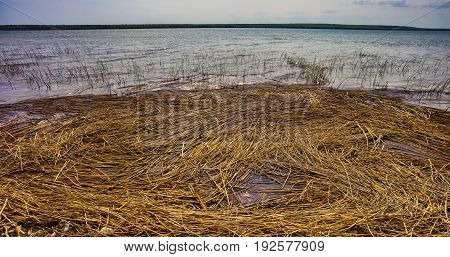 Dead reeds that are collected on the shore of Dore Lake in Saskatchewan