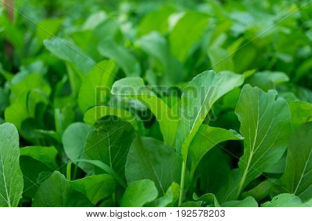 a front selective focus picture of organic chinese broccoli or chinese buck choy in agriculture farm