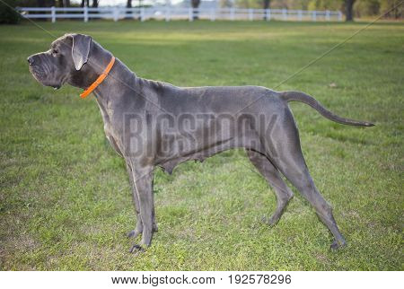 Gray Great Dane purebred looking at something on a grassy field