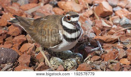 Killdeer warning an intruder away from its nest eggs