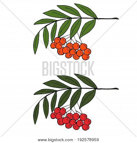 Detailed ink drawing of rowan or rowanberry. Berries and rowan berries with leaves, hand drawn in rustic design, classic drawing element of wild ash, pit or rowan-tree. Isolated, black and white.
