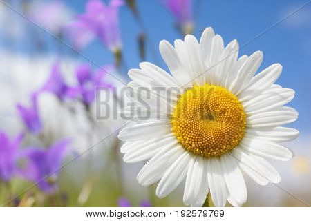 Chamomile  in sunny weather on a beautiful meadow.Chamomile flowers field background in sun light. Summer Daisies. Beautiful nature scene with blooming medical chamomilles. Alternative medicine. Camomile Spring flower background Beautiful meadow
