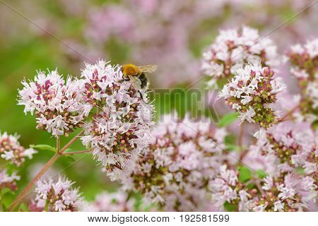 The bee collects pollen on the inflorescences of oregano