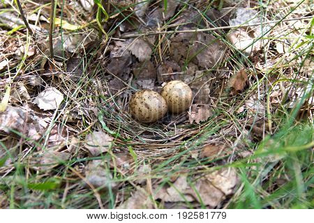 Quail Eggs In The Nest In Their Natural Habitat, In The Woods.