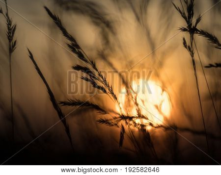 silhouette from grass and orange sky at sundown blurred background