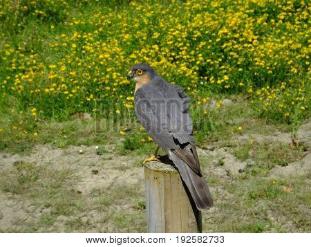 Sparrowhawk perched on post against a background of wild flowers