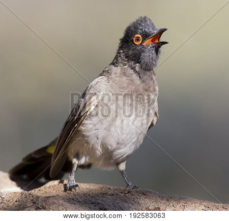 Red-eyed Bulbul sitting on a rock pond ready to fly